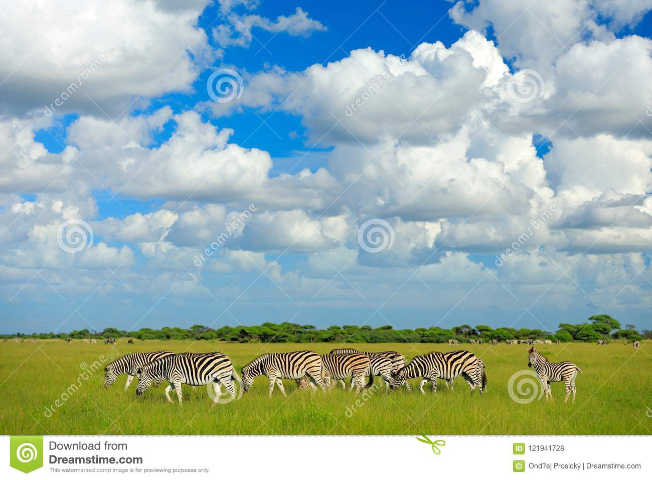 Zebras With Blue Sky And White Clouds  Burchell`s Zebra