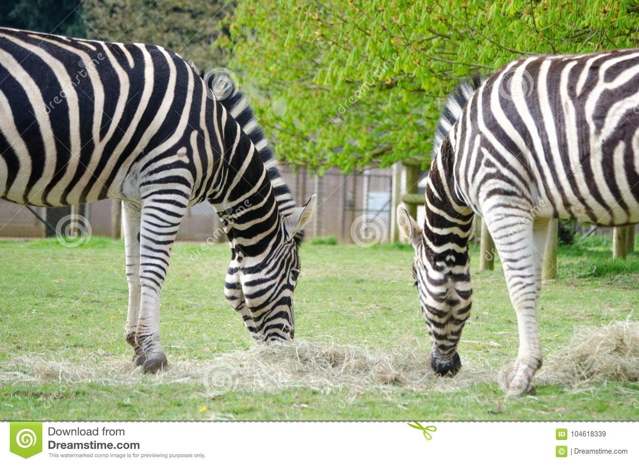 Two Zebras munching the same hay in a wildlife park