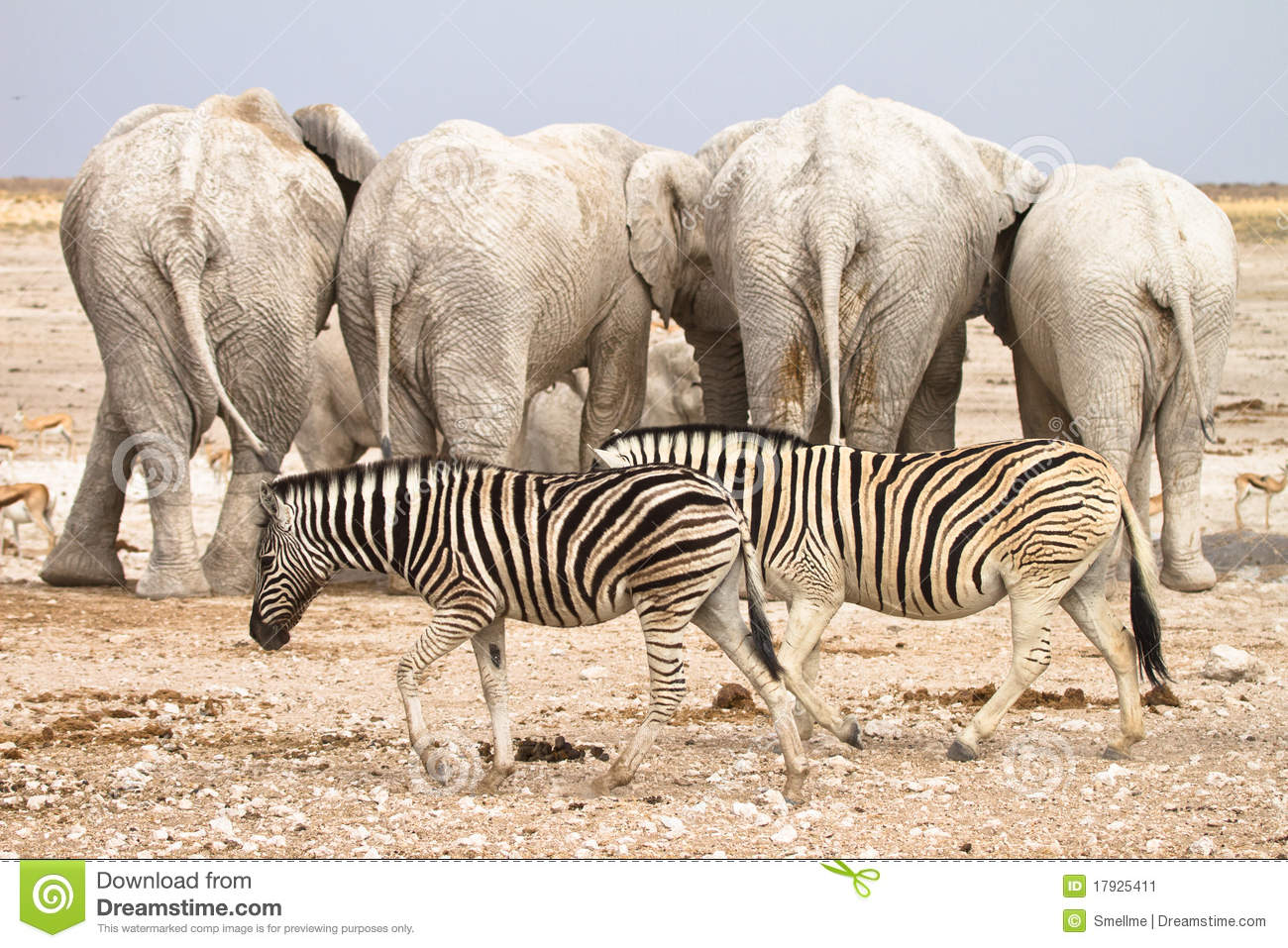 Sweet twins royalty free stock photo image 10320675 - More Similar Stock Images Of Baby Zebras