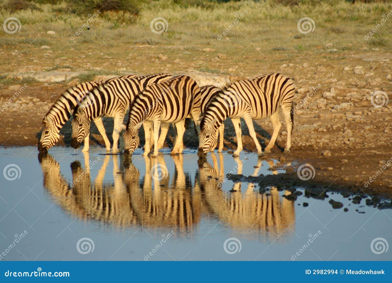 Zebras em Etosha NP, Namíbia