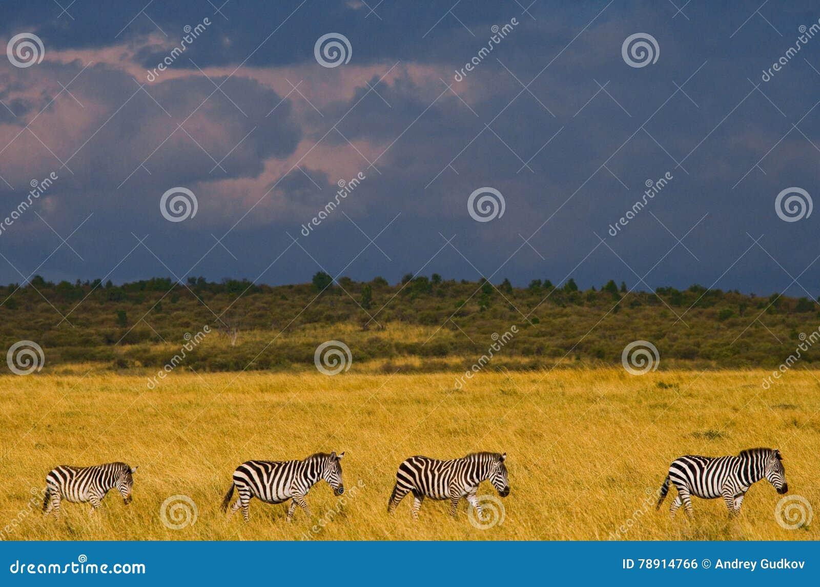 Zebras folgen sich in der Savanne kenia tanzania Chiang Mai serengeti Maasai Mara