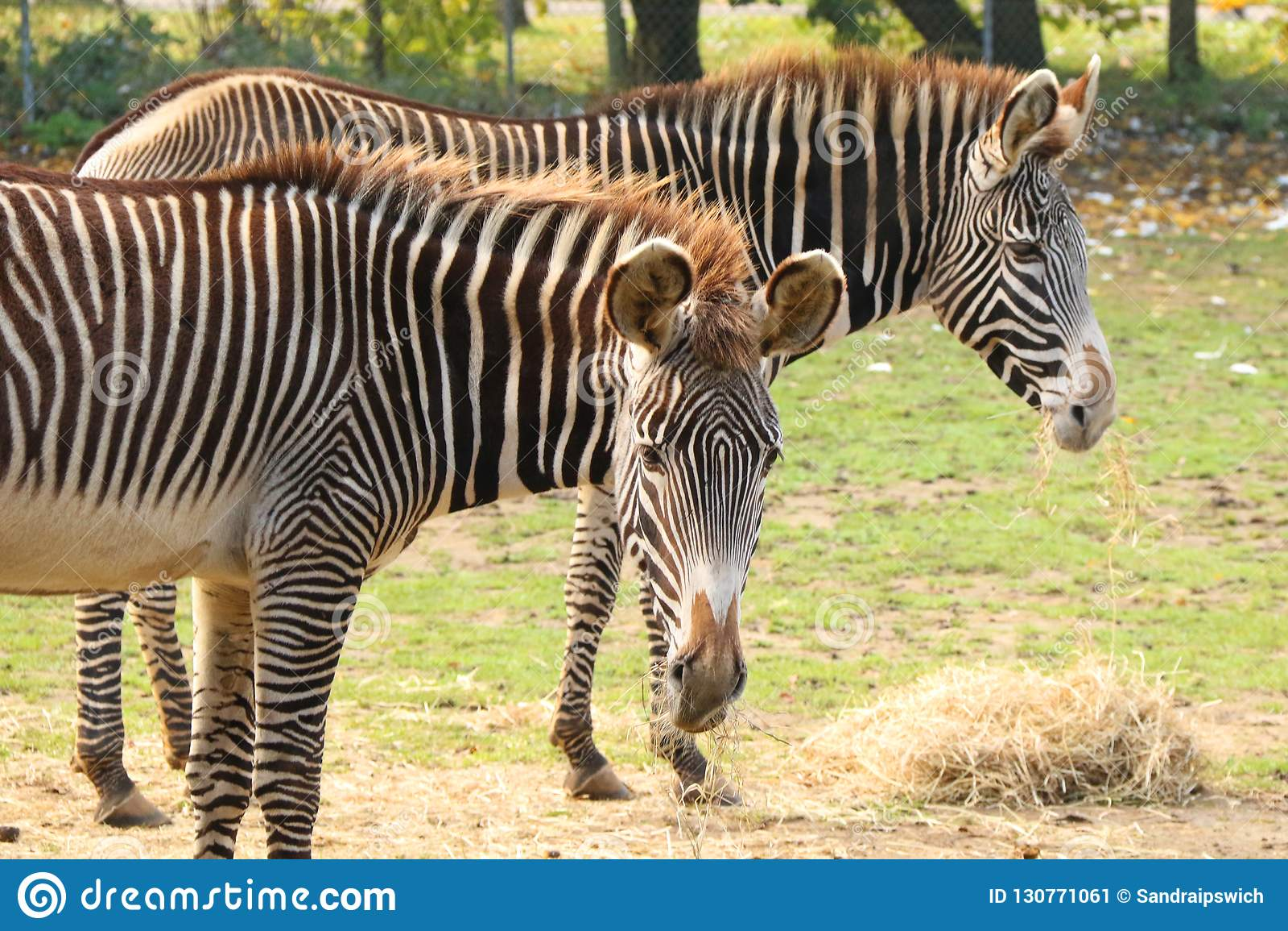 Zebras Grevy στο ζωολογικό κήπο Banham