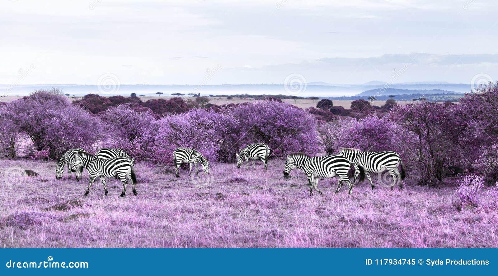 Zebras het weiden in purpere Afrikaanse savanne