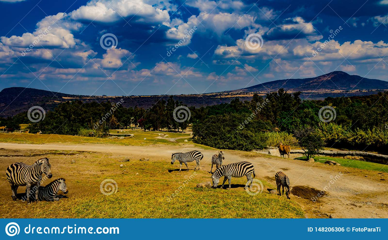Zebras in a nature reserve with trees, grass and green vegetation