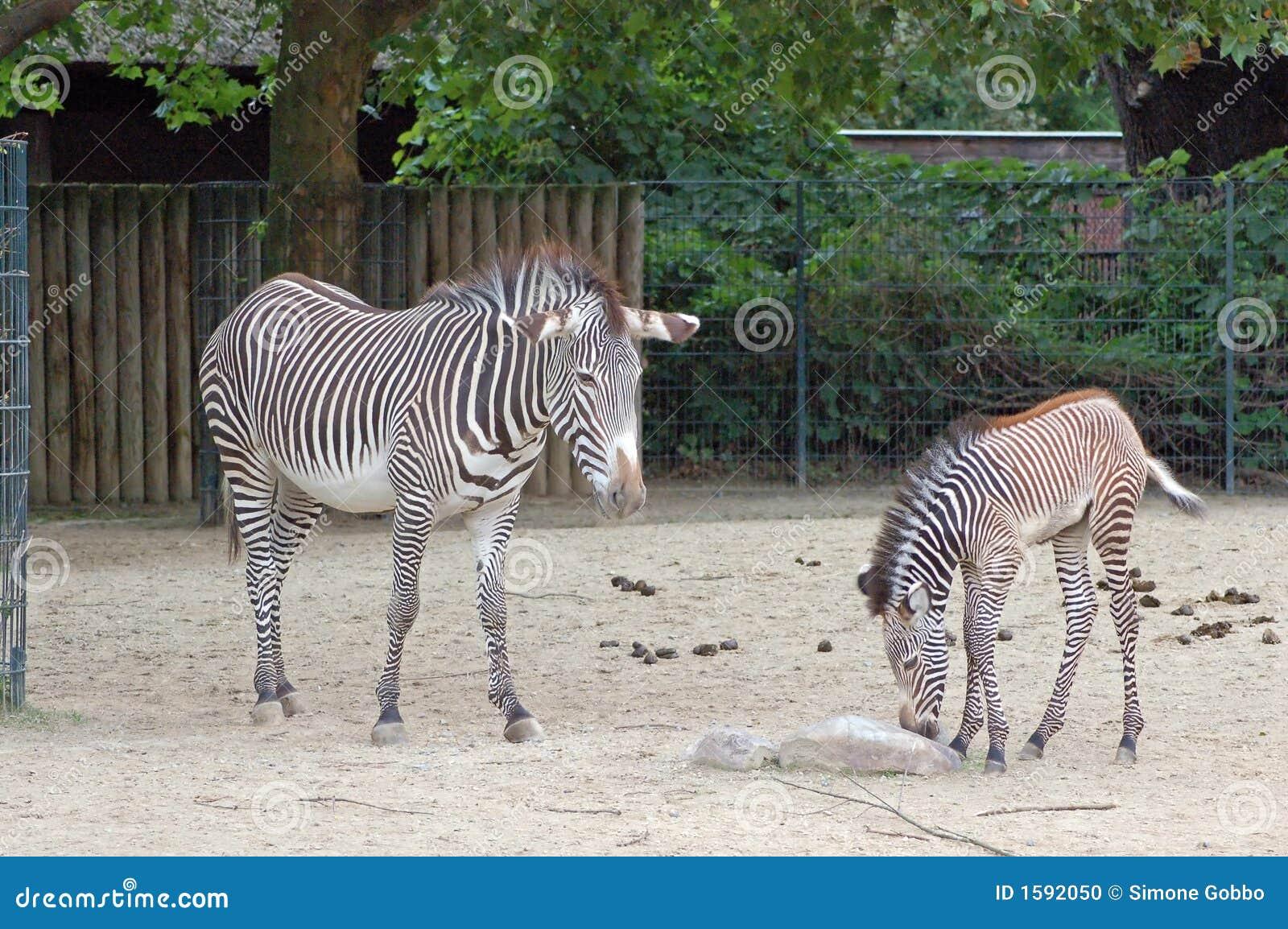 Zebras no jardim zoológico de Berlim