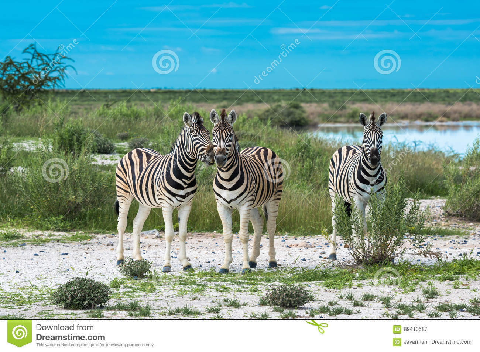 Zebras no parque nacional do etosha, Namíbia