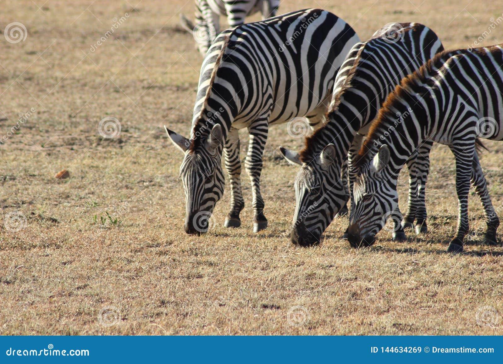 Zebras que pastam no savana