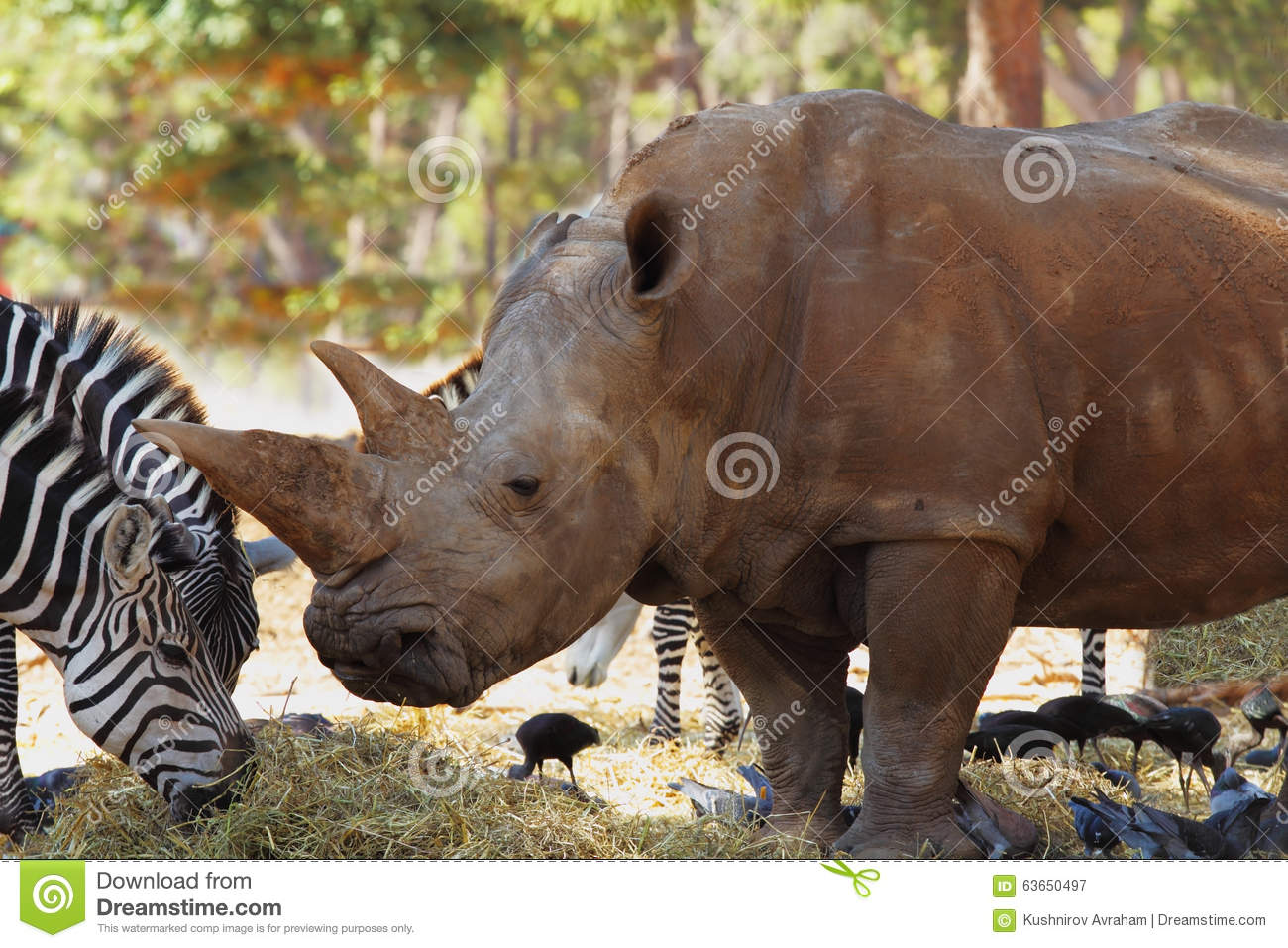 Zebras and rhinos walking together