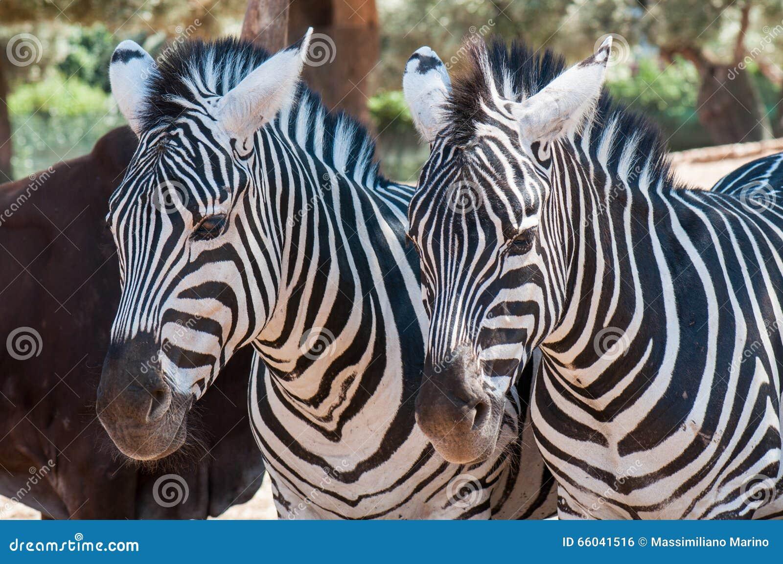 Zebras in a row sleeping