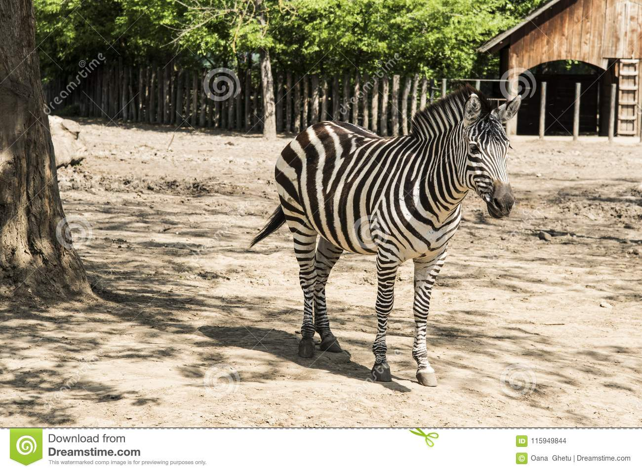 Zebras are several species of African