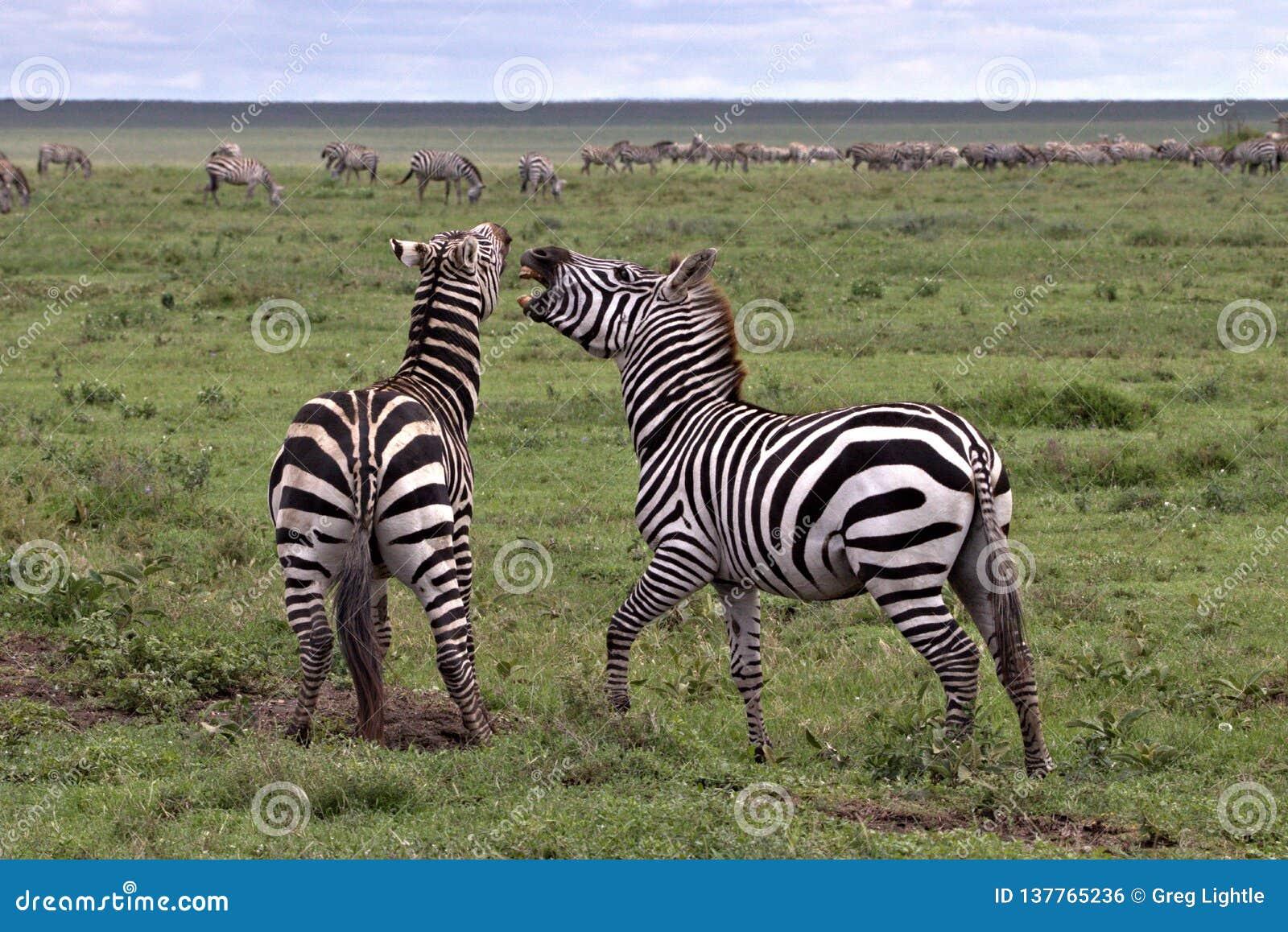 Zebras Spar on the Serengeti