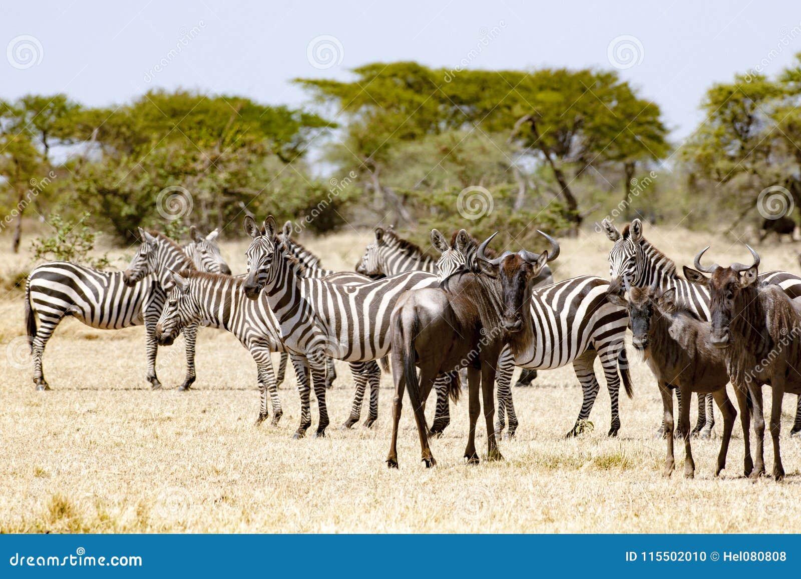 Zebras und Gnus, die zusammen in Tansania stehen