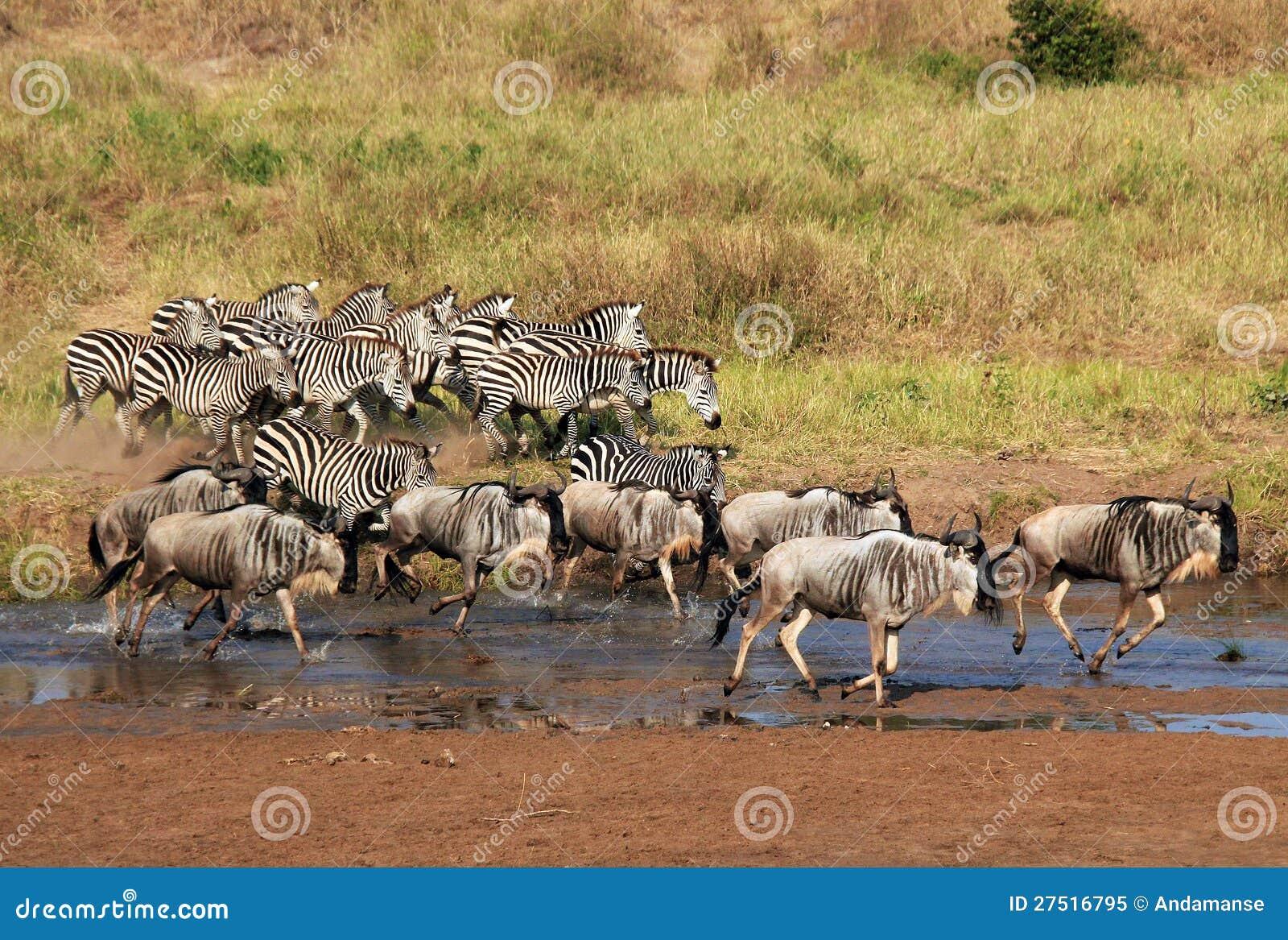 Zebras-und Wildebeests-Laufen