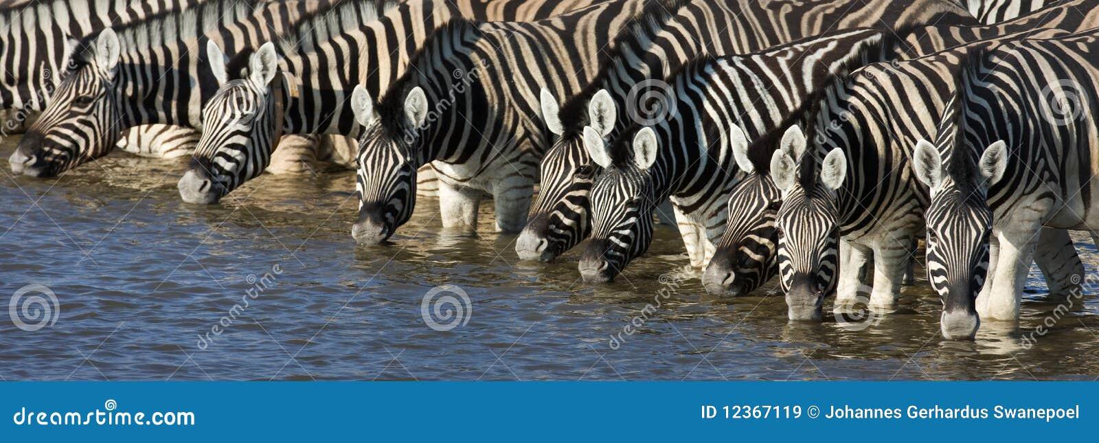 Zebrastrinken