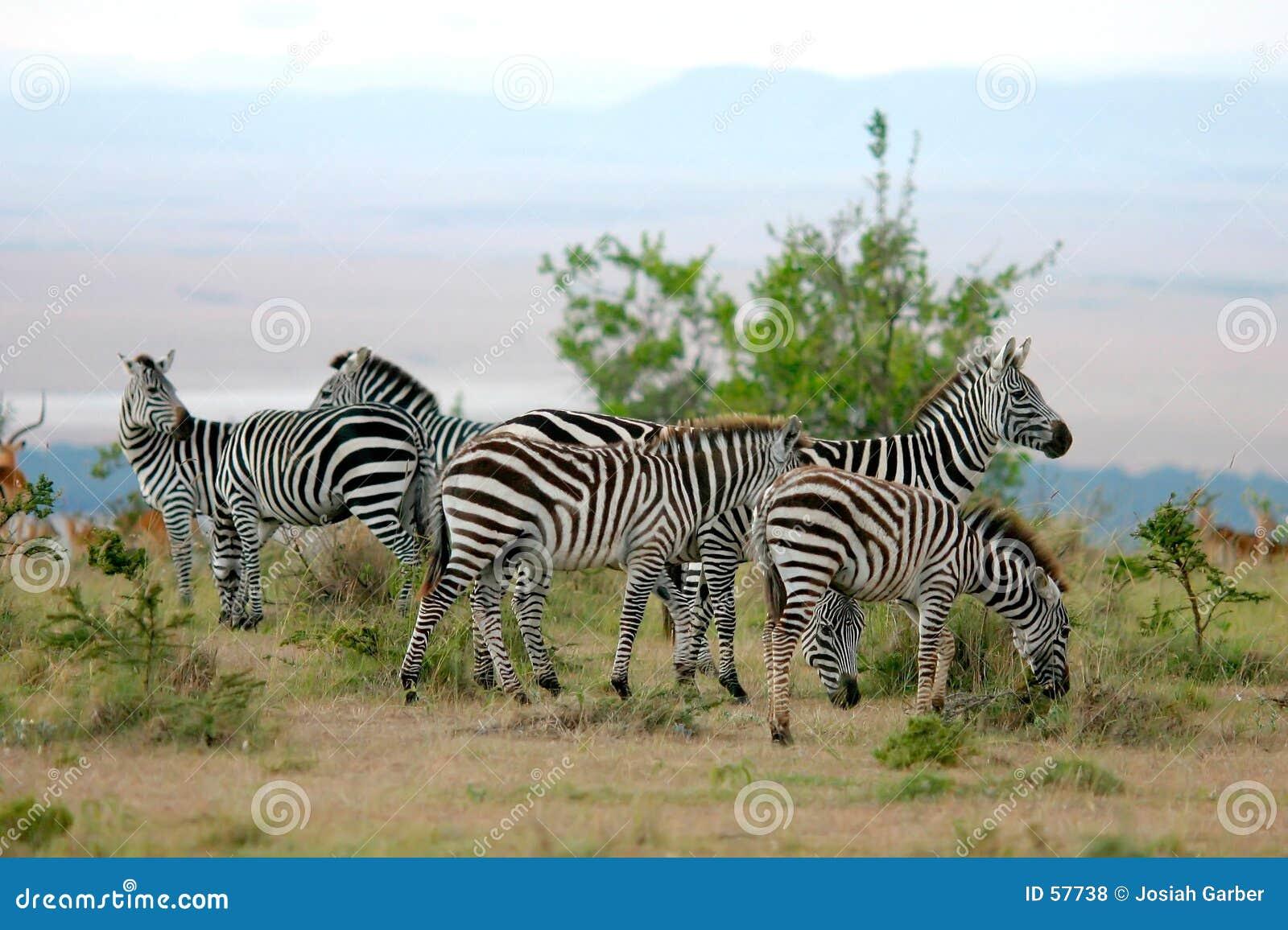 Zebre in Africa