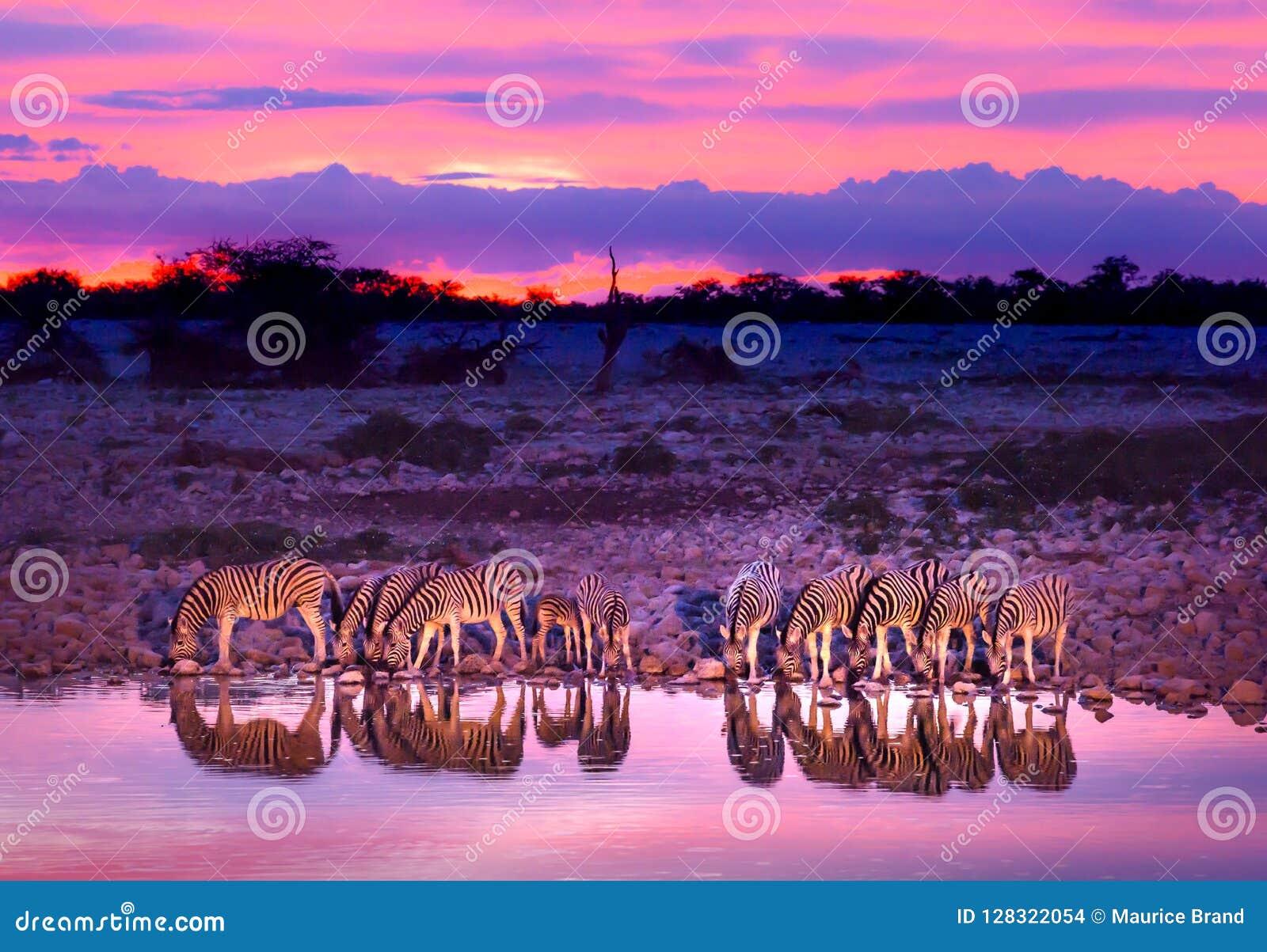 Zebre che bevono al waterhole