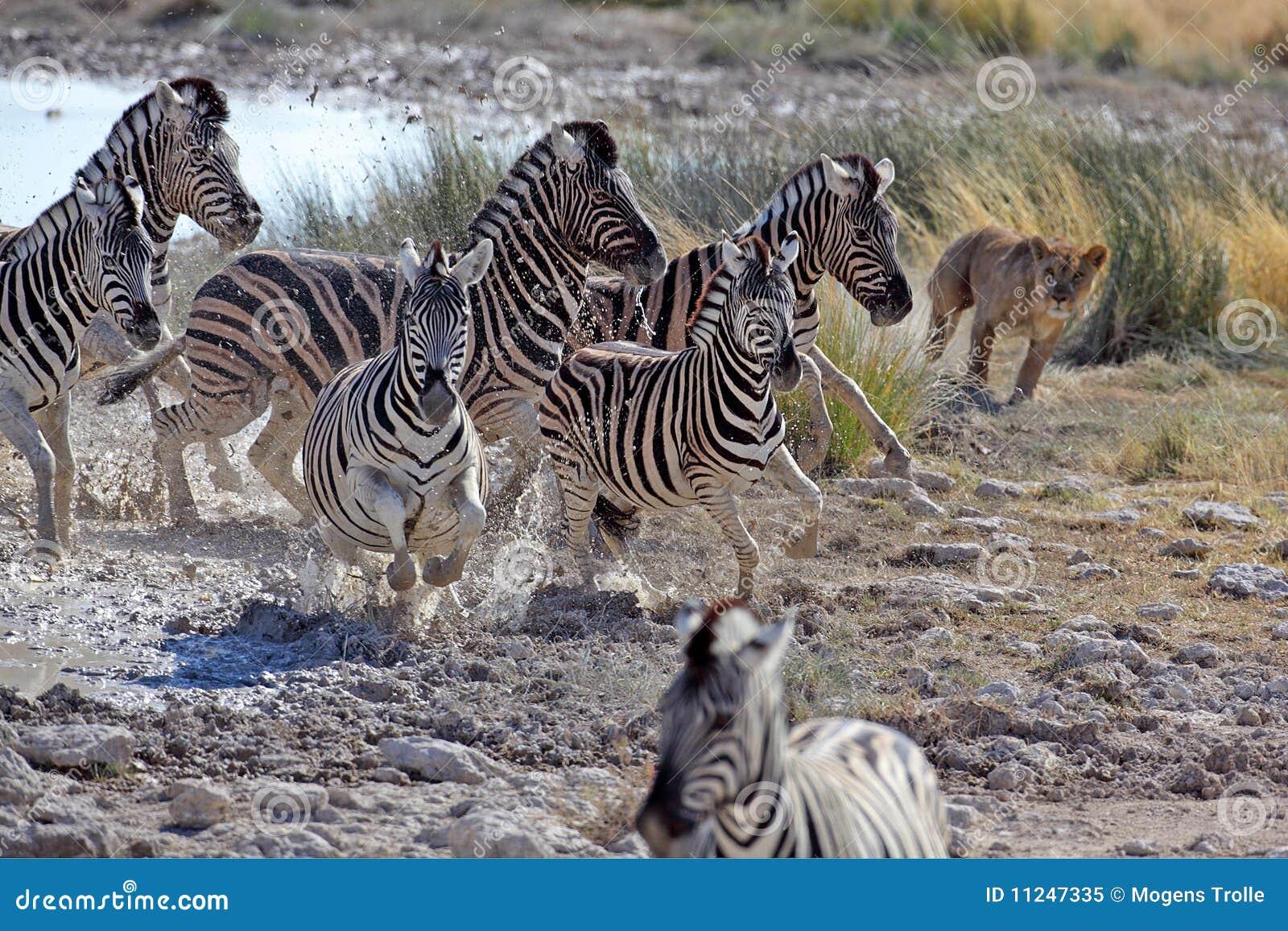 Zebre di caccia del leone