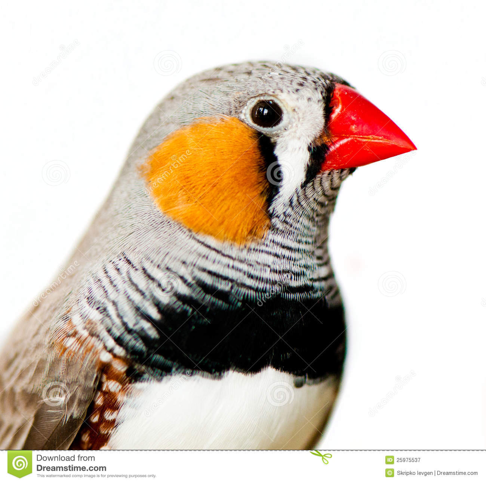 Zebry Finch