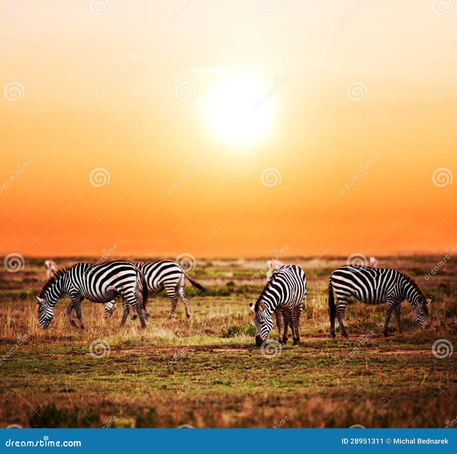Zebry gromadzą się na Afrykańskiej sawannie przy zmierzchem.