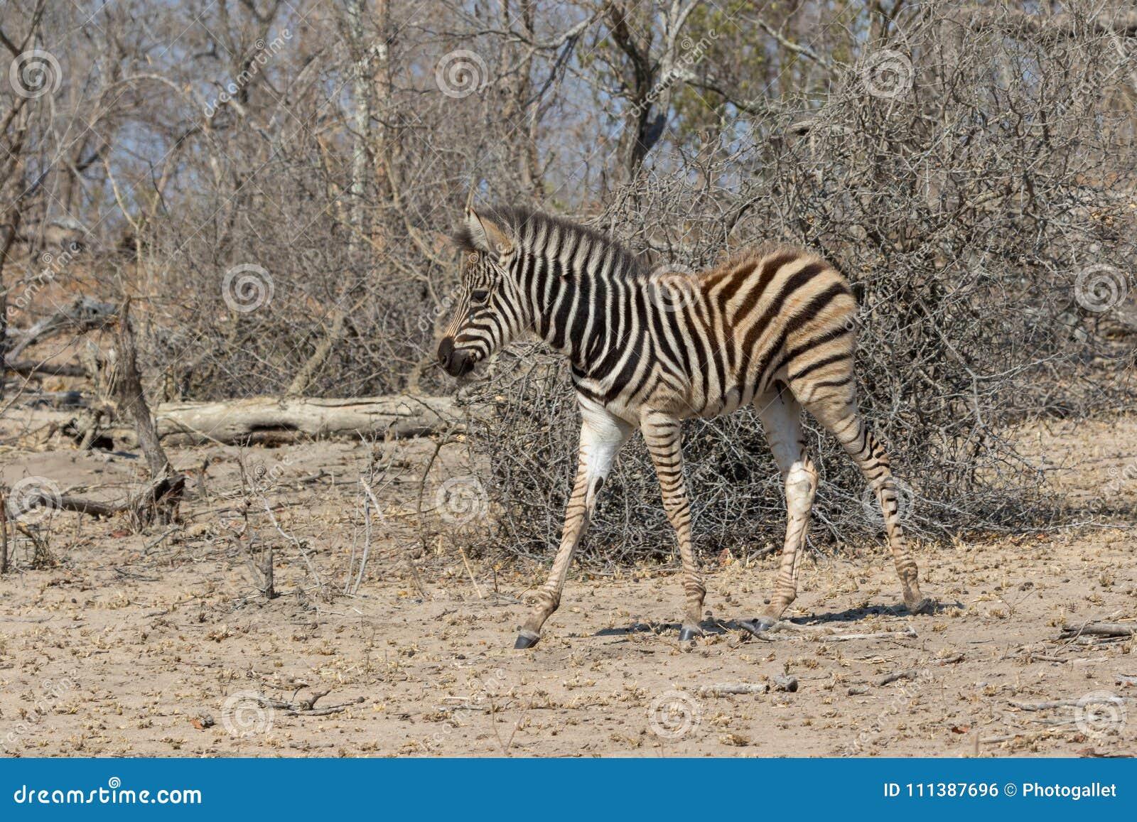 Zebry Kruger park narodowy