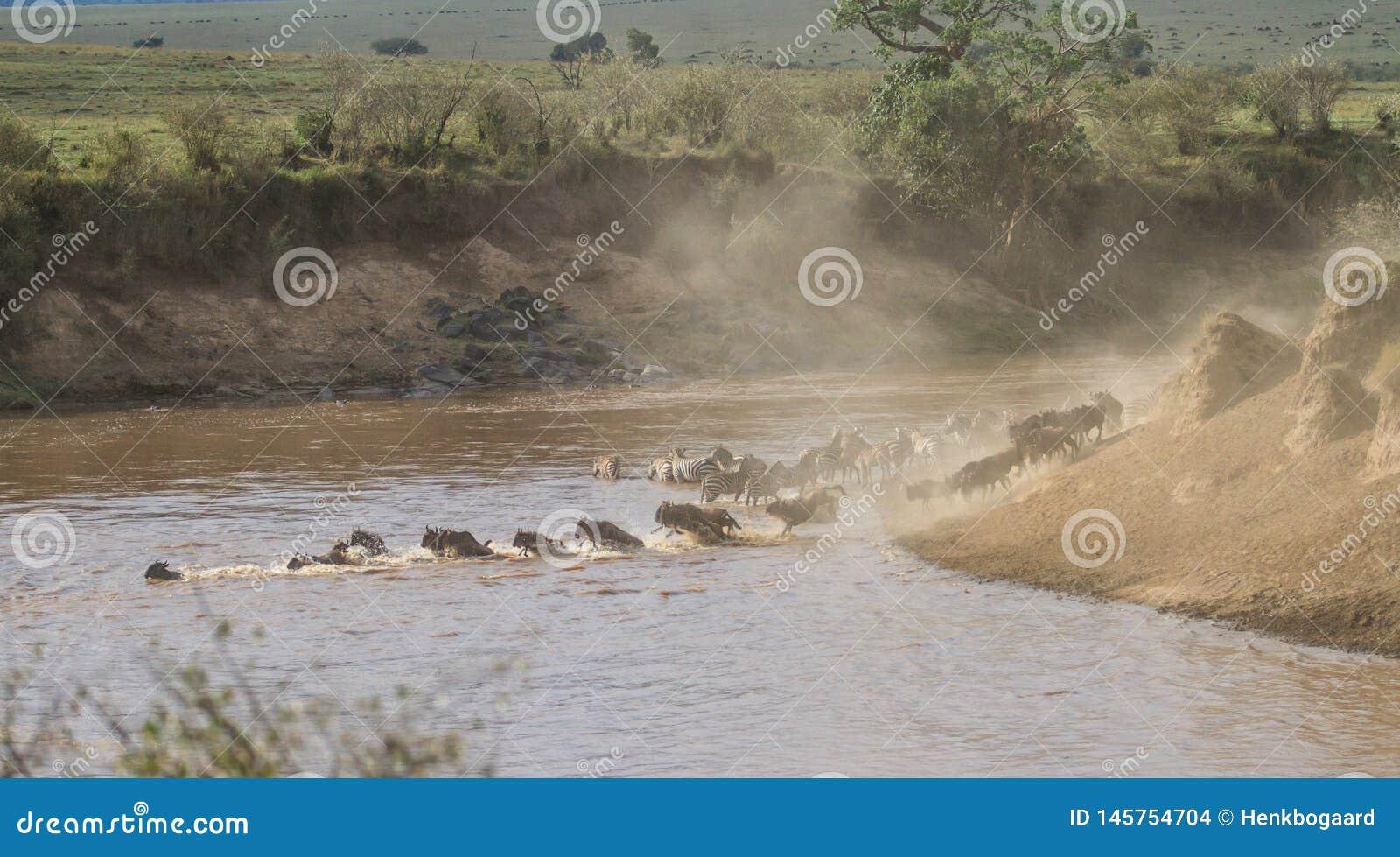 Zebry Mara rzeki w Kenja skrzy?owanie