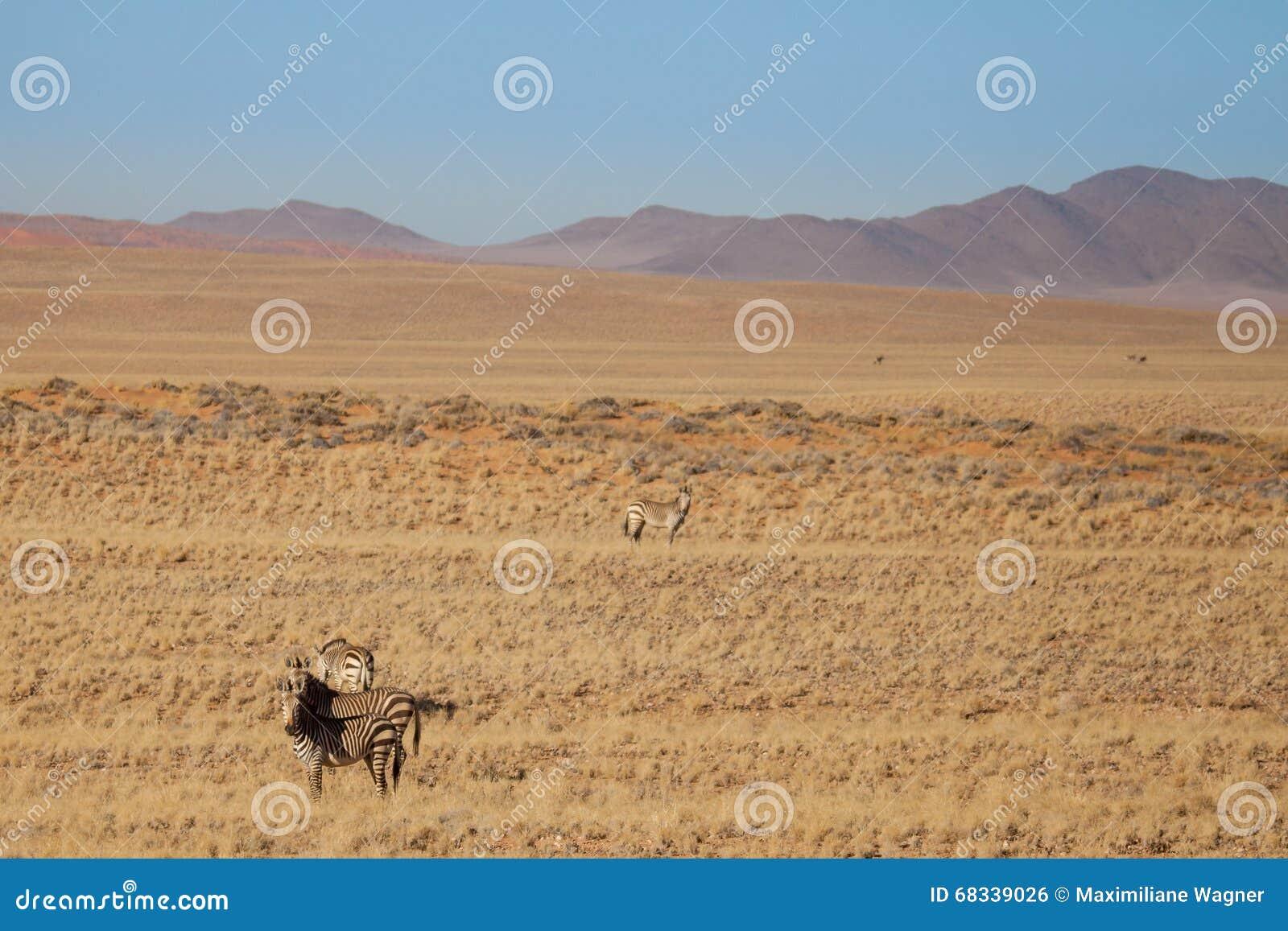 Zebry w sawannie przed górami, Namibia