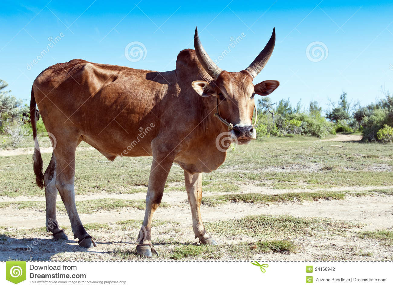 zebu stock photo image of forest field agriculture 24160942