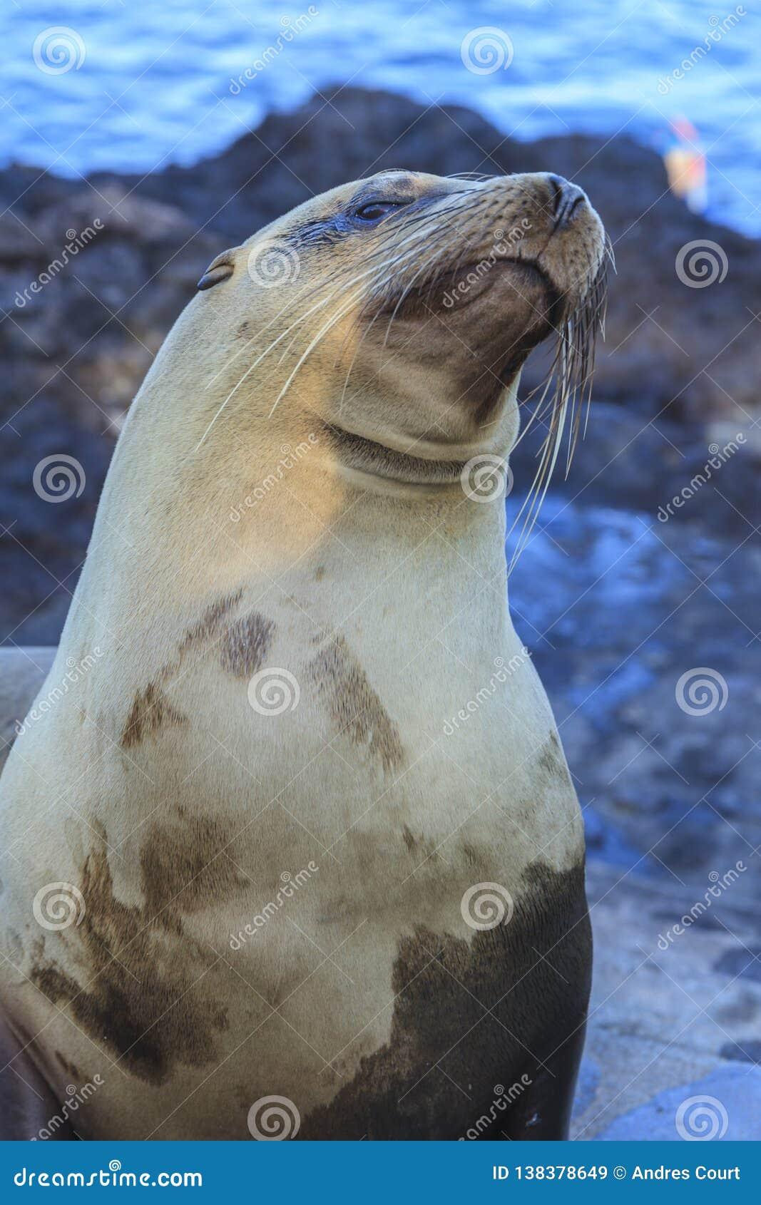 Zeeleeuw in de Eilanden van de Galapagos