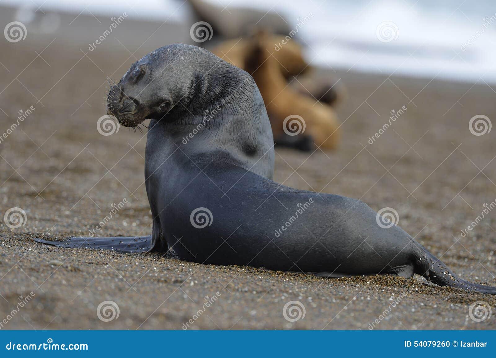 Zeeleeuw op het strand in Patagonië