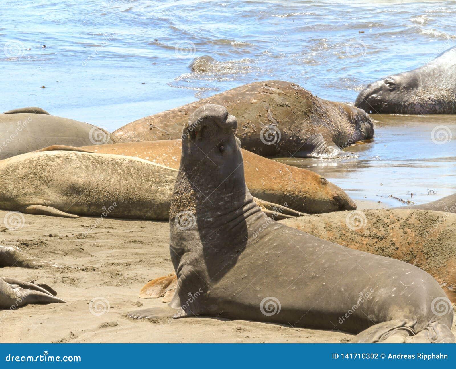Zeeleeuwen die op de kust zonnebaden