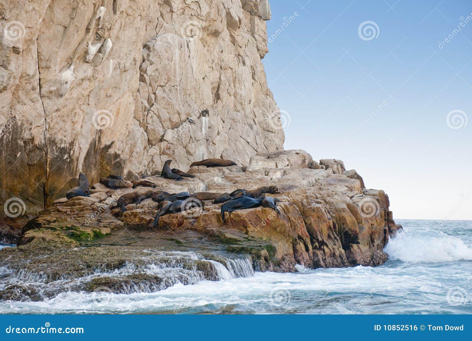 Zeeleeuwen op rotsachtige oever