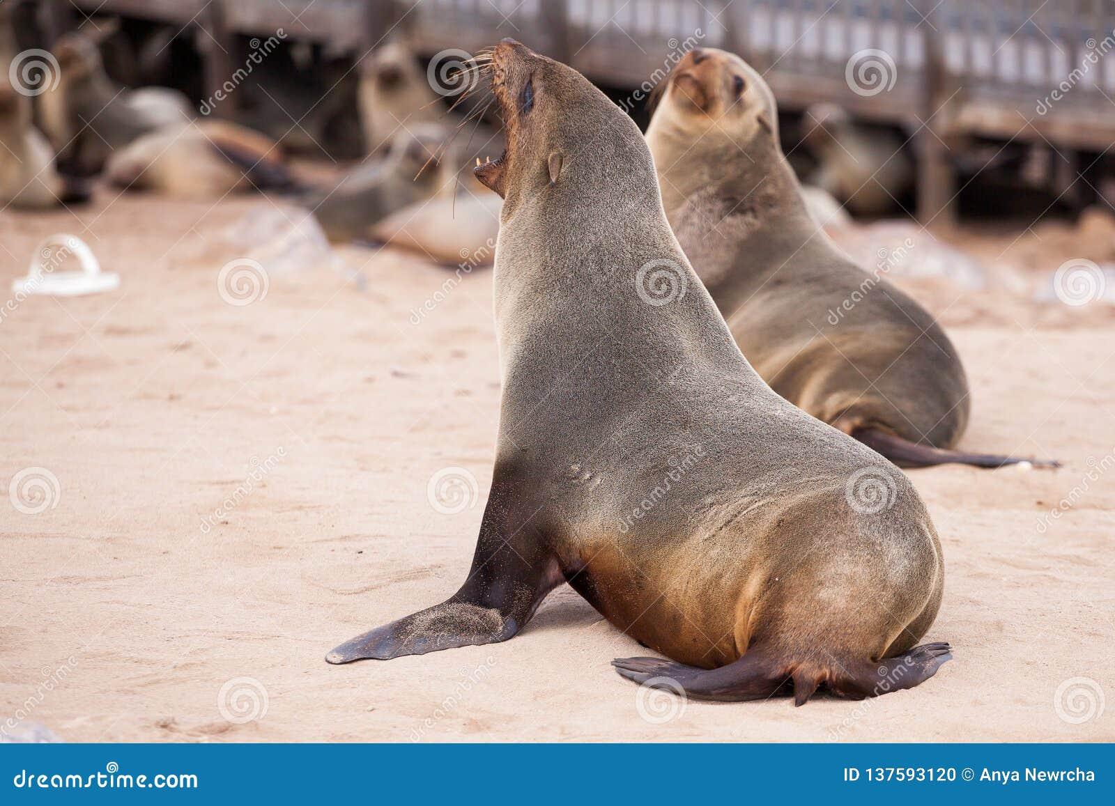 Zeeleeuwenverbindingen, Otariinae met jongen