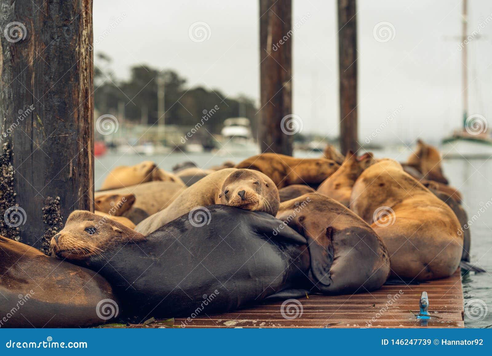 Zeeleeuwenzitkamer op een drijvend dok in het midden van de Morro-Baaihaven