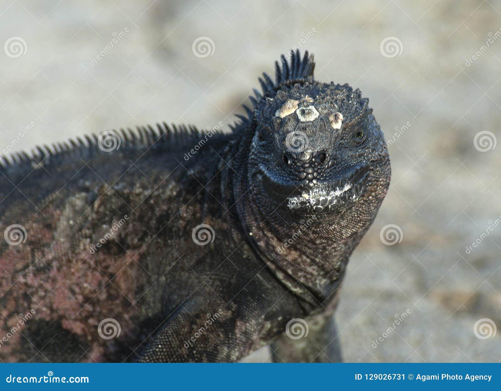 Zeeleguaan, морская игуана, cristatus Amblyrhynctus
