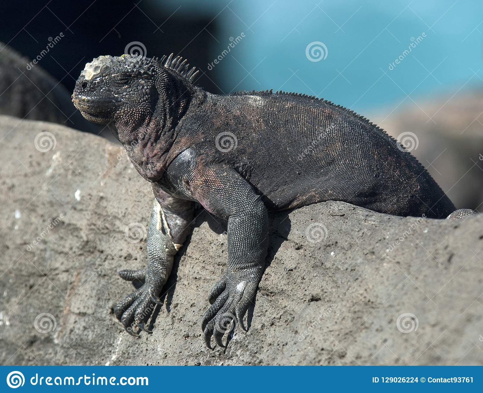 Zeeleguaan, Marine Iguana, Amblyrhynctus cristatus