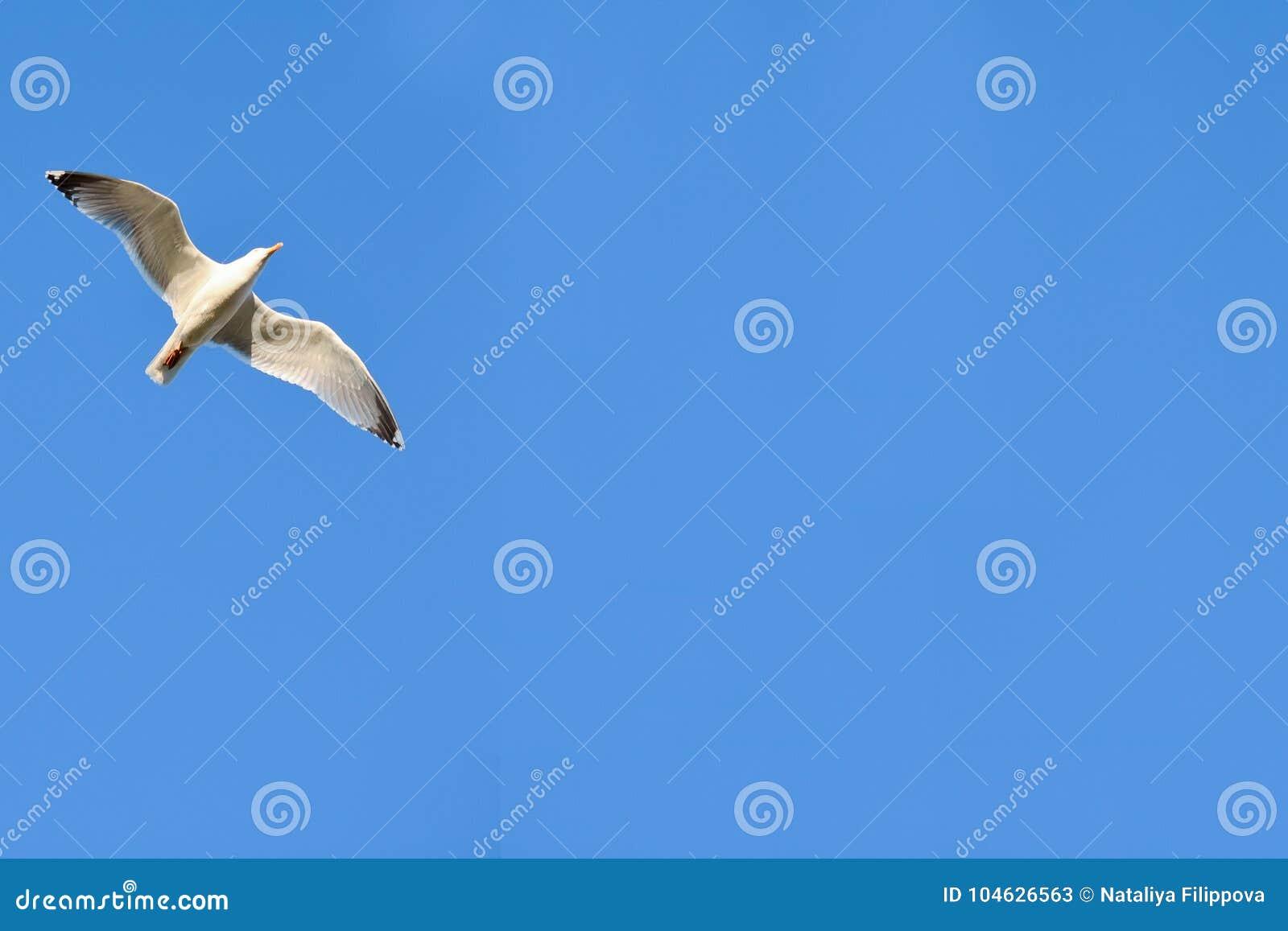 Download Zeemeeuw In De Blauwe Hemel Stock Afbeelding - Afbeelding bestaande uit lucht, vlucht: 104626563
