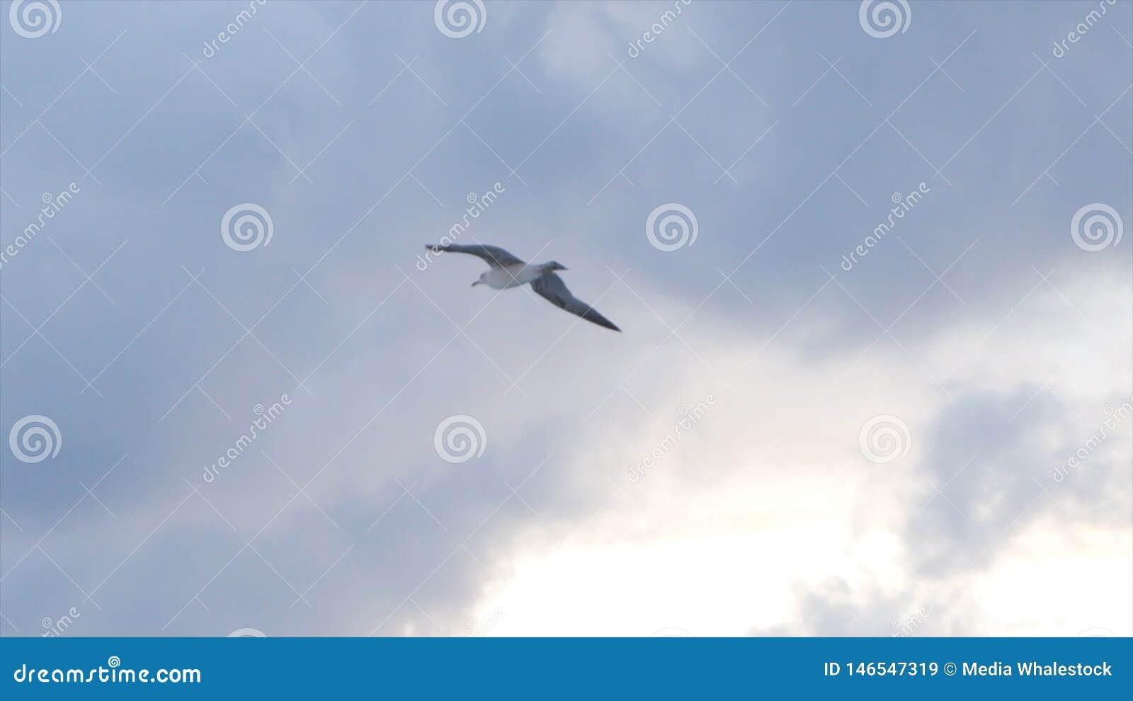 Zeemeeuw die in de lucht op de bewolkte achtergrond van de zonsonderganghemel, vrijheidsconcept vliegen voorraad Mooie witte voge