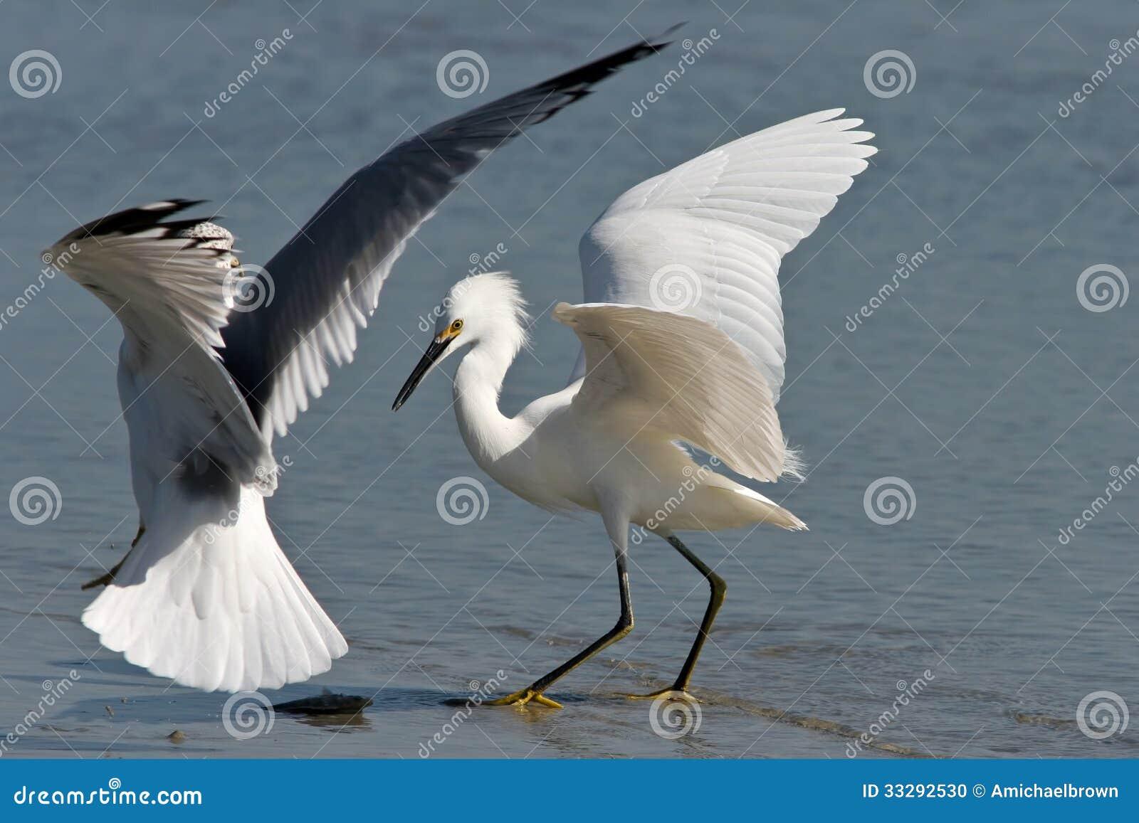 Zeemeeuw en Aigrettestrijd over Vissendiner