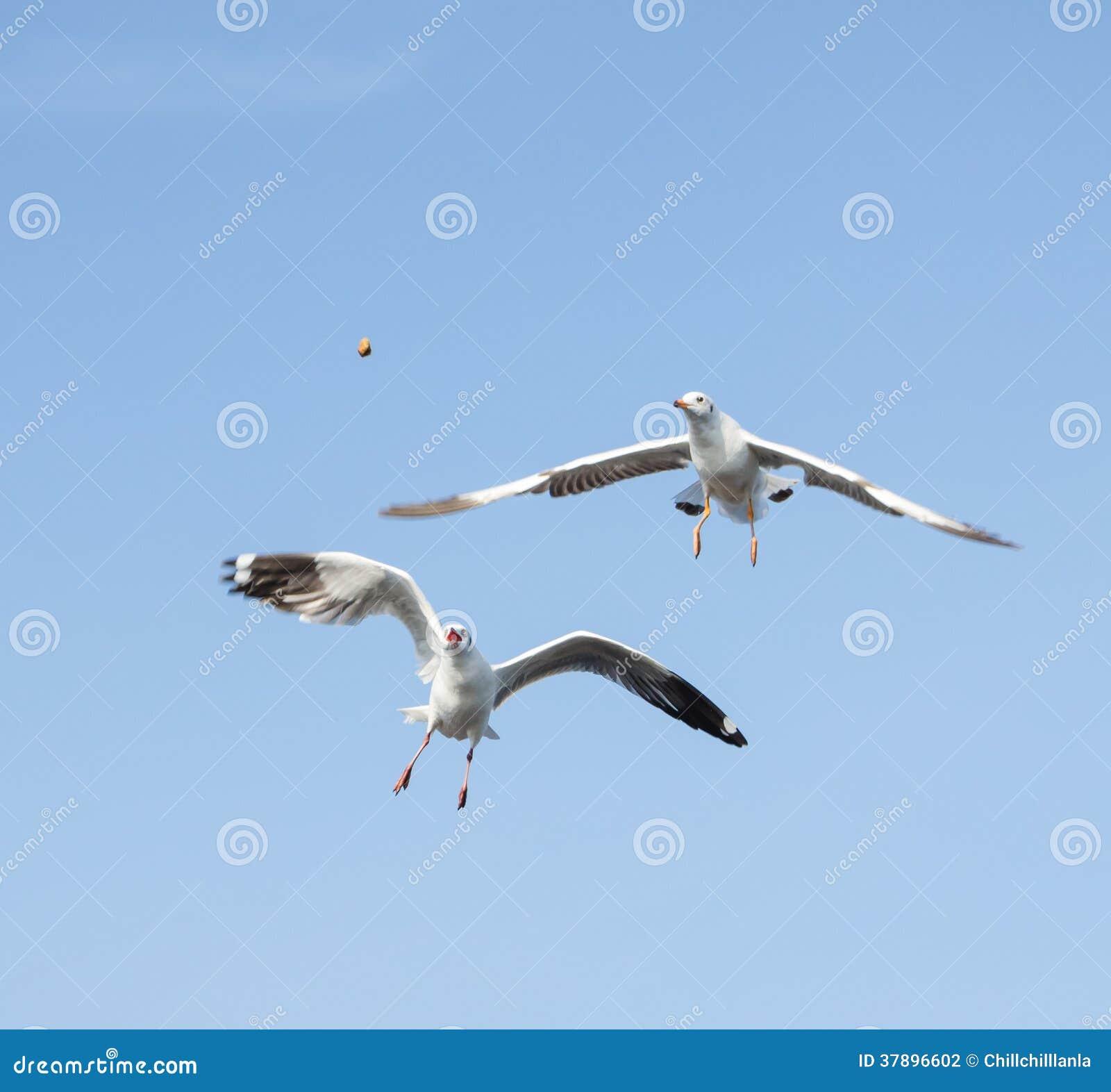 Zeemeeuw het vliegen