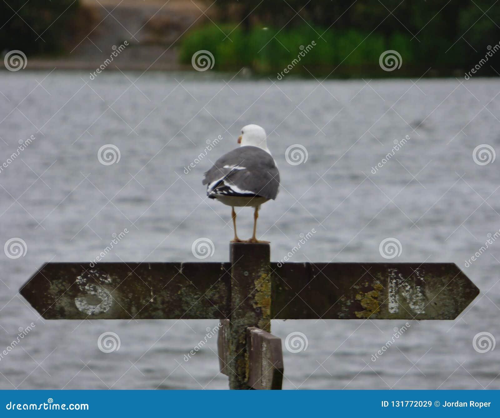 Zeemeeuw op omheiningspost die die over het park van het land van de penningtonflits, foto kijken in de Britse medio zomer wordt