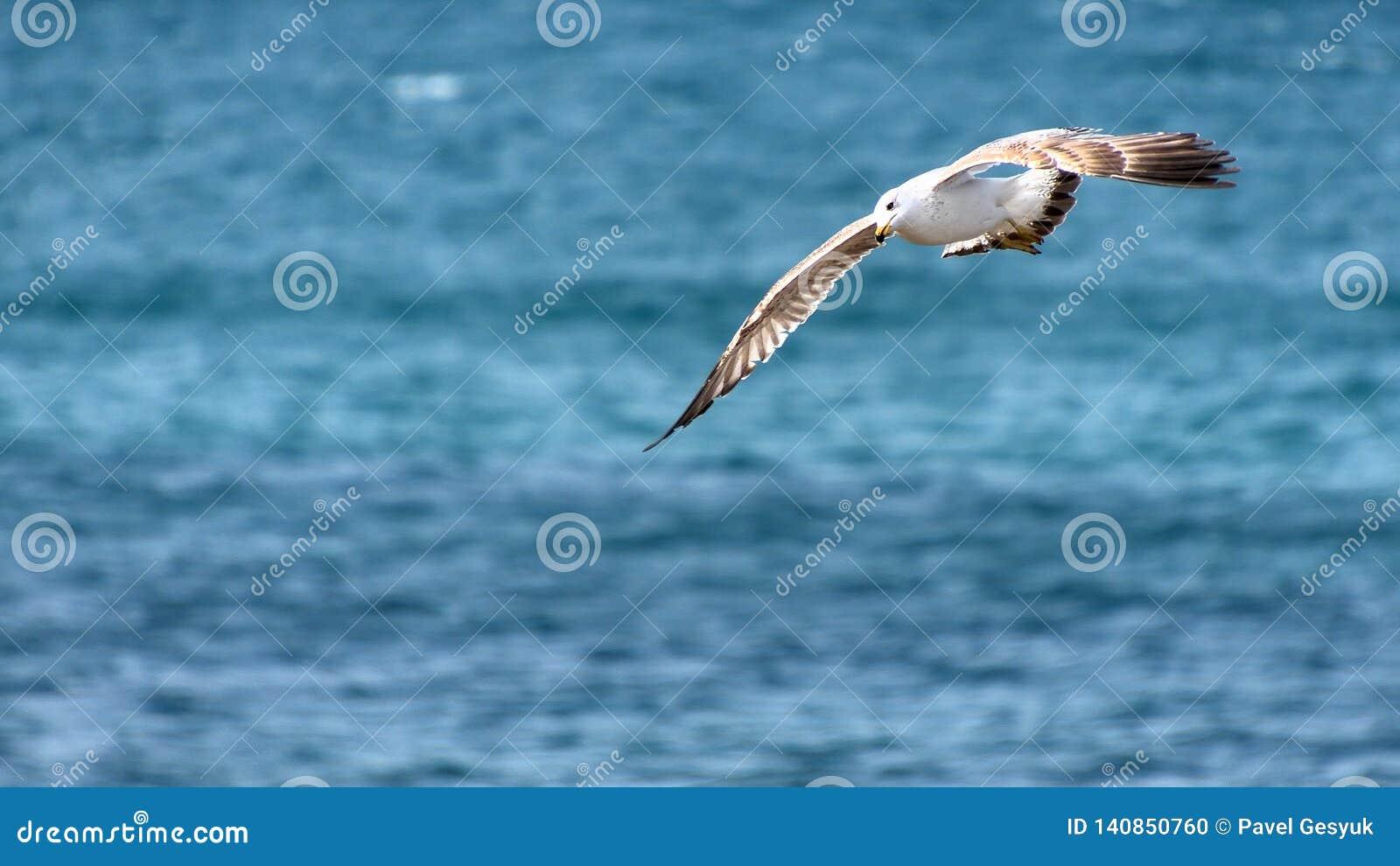 Zeemeeuw op zijn jacht bij het overzees