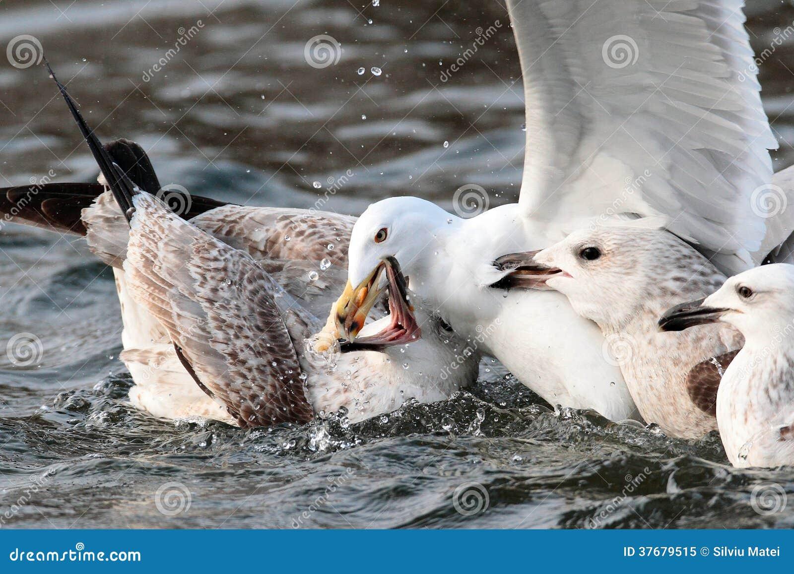 Zeemeeuwen die voor voedsel vechten