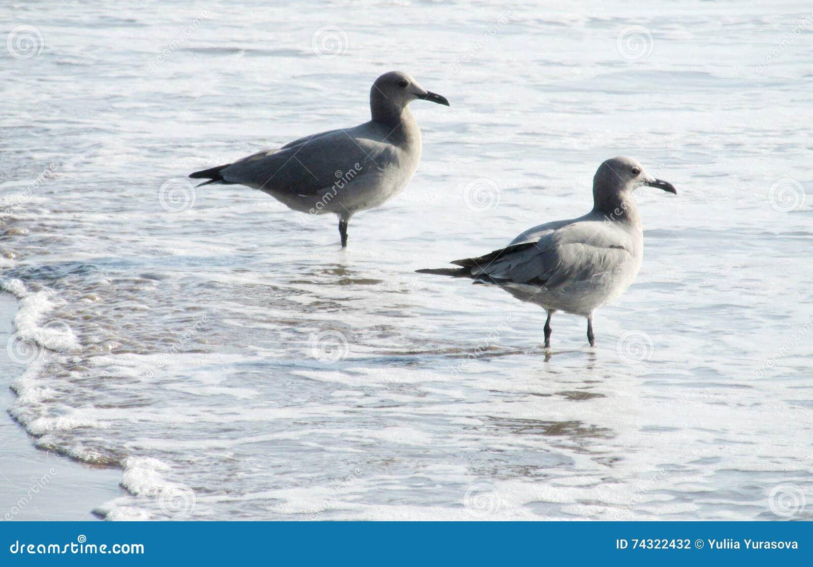 Zeemeeuwen op overzees strand in golven