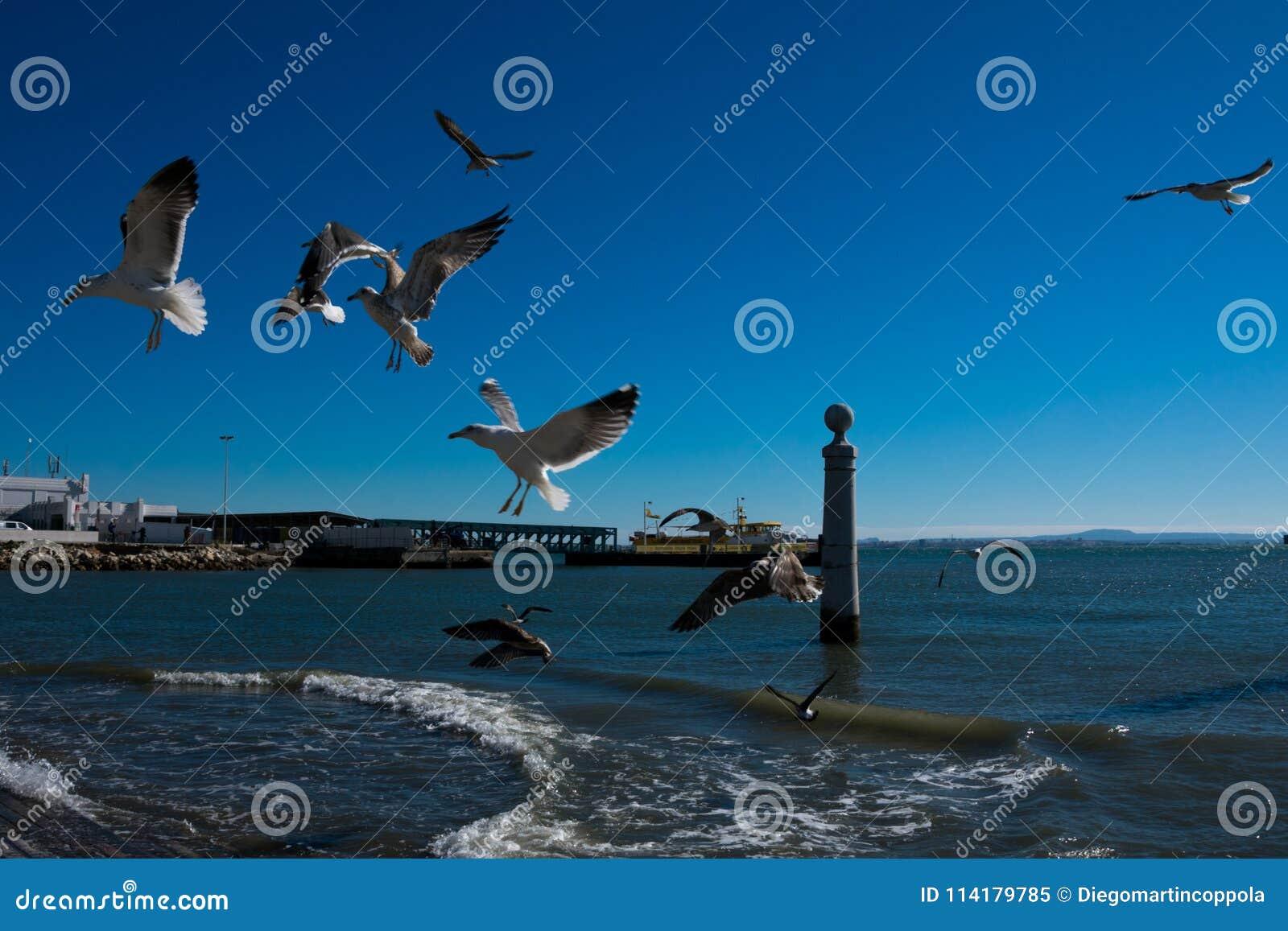 Zeemeeuwen vliegen die wachten worden gevoed Tagusrivier
