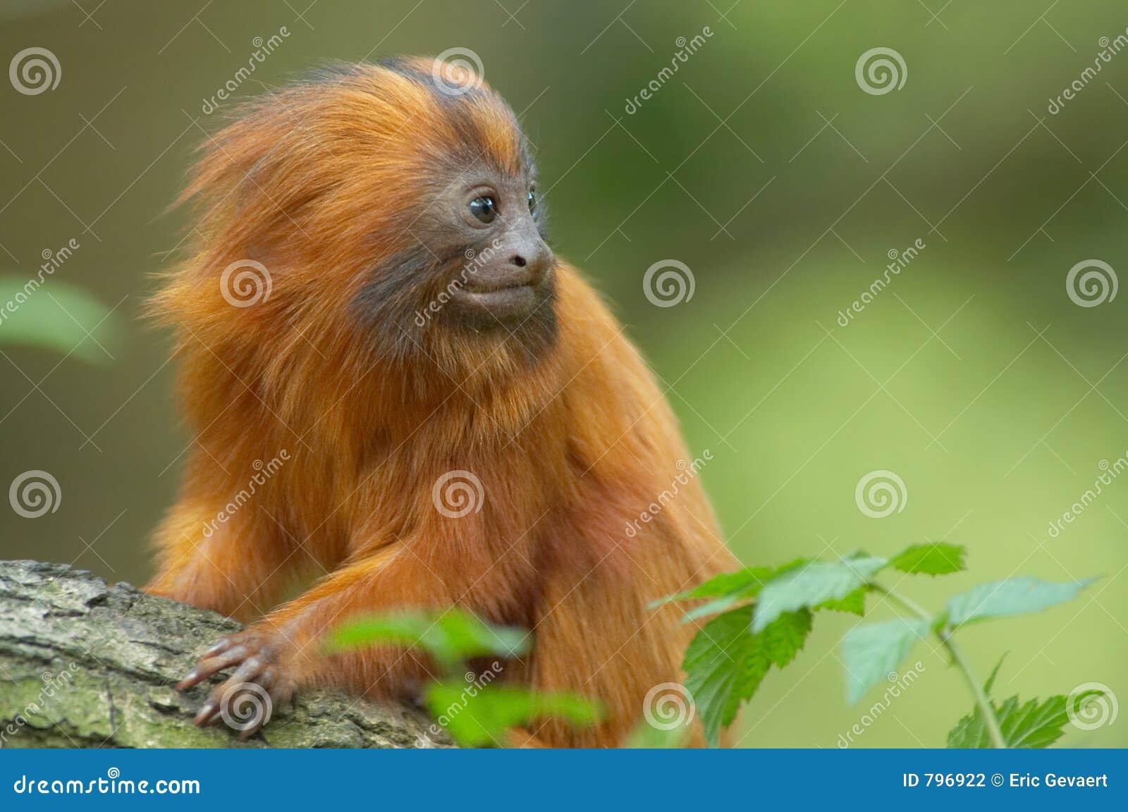 Zeer leuke rode aap