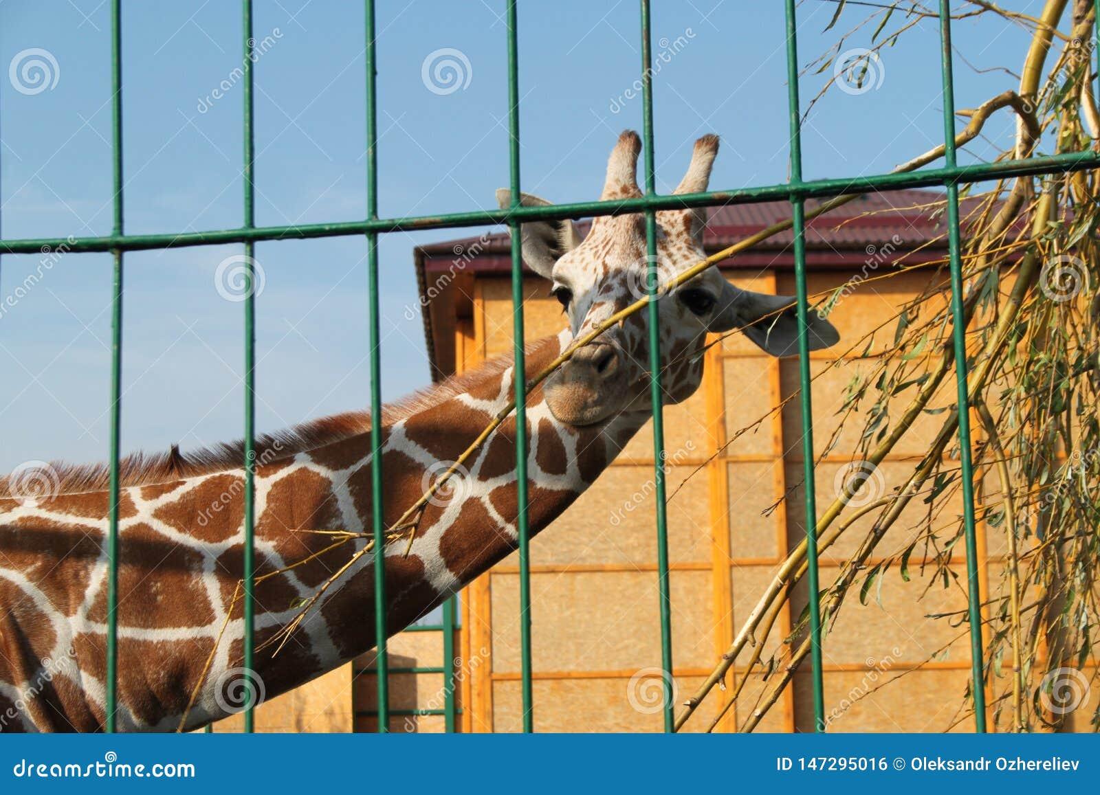 Zeer mooie bevlekte giraf