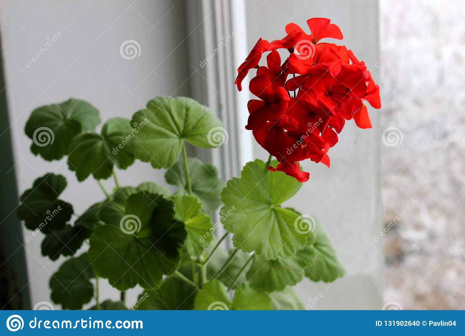 Zeer mooie, heldere bloemkrul