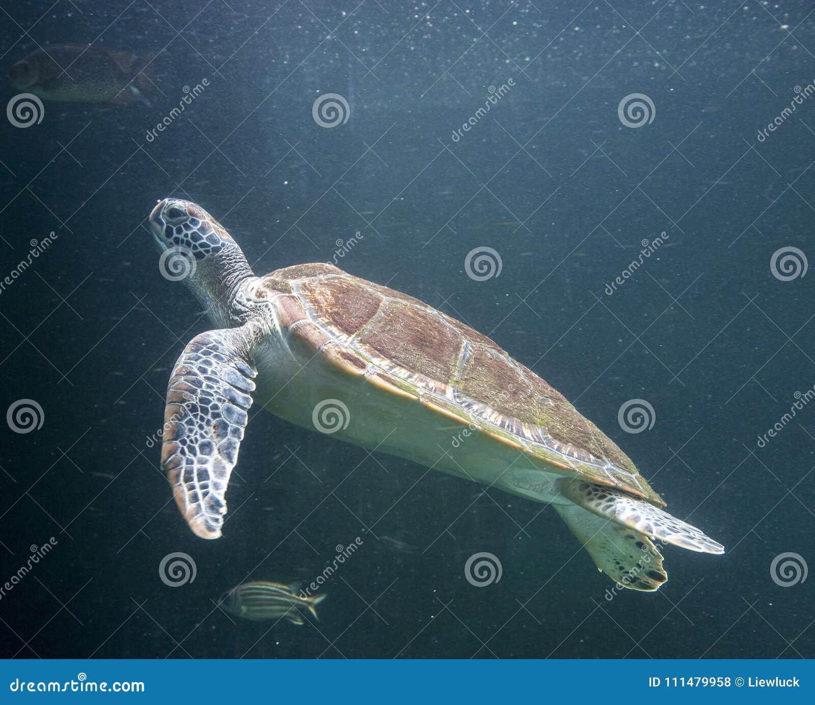 Zeeschildpad Chelonioidea