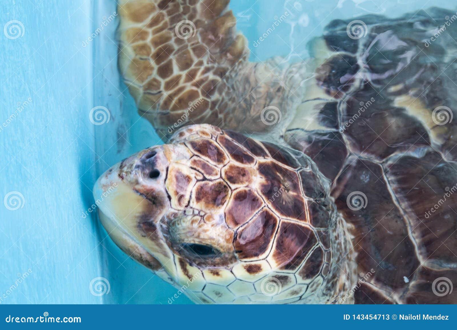 Zeeschildpad, Chelonioidea & x28; Chelonioidea& x29; zijn een schildpad superfamily bestaand uit zeeschildpadden