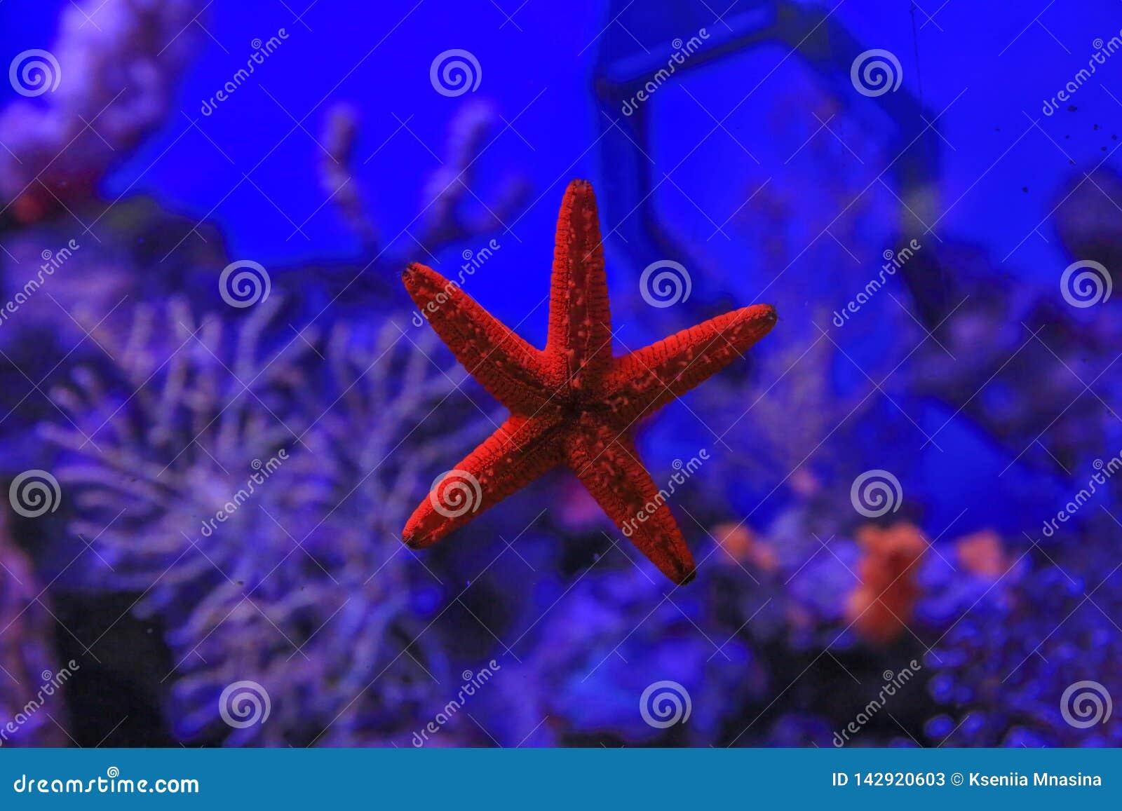 Zeester aan het glas tegen het koraal wordt geplakt dat